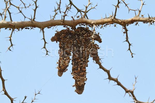 Wasp Nest in The Gambia Stock photo © suerob