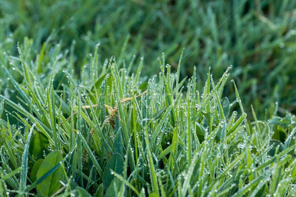 Rugiada erba natura verde mattina Foto d'archivio © suerob