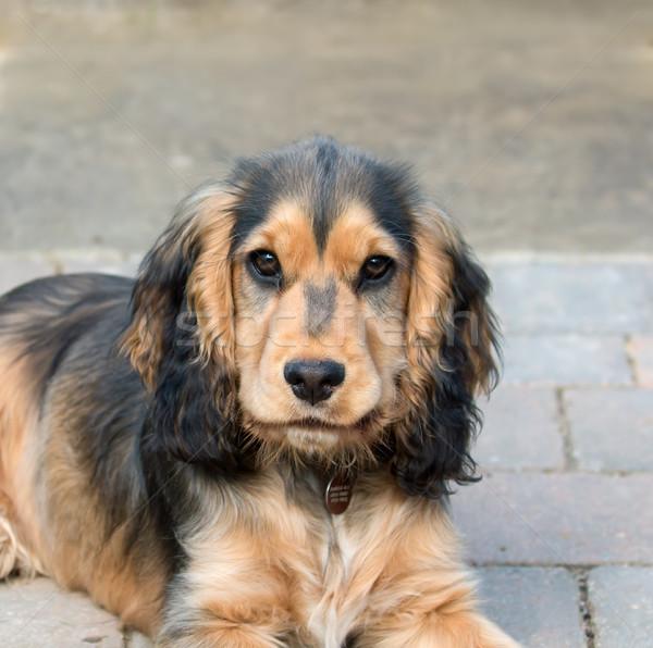 İngilizce köpek yavrusu göstermek köpek saç eğlence Stok fotoğraf © suerob