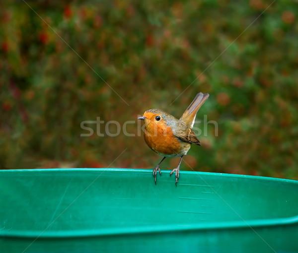 European Robin tail up Stock photo © suerob
