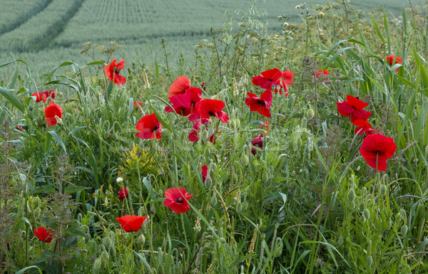 Stock photo: Poppies by Field