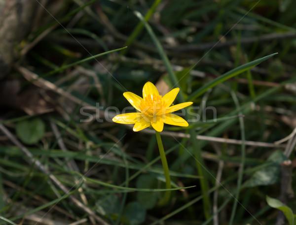 Fleur jaune anglais campagne fleur Angleterre Photo stock © suerob