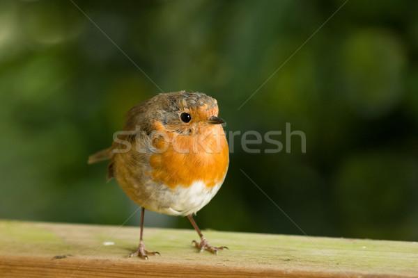 Robin Stock photo © suerob