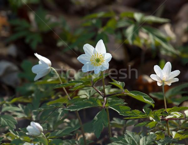 Wood Anemones Stock photo © suerob