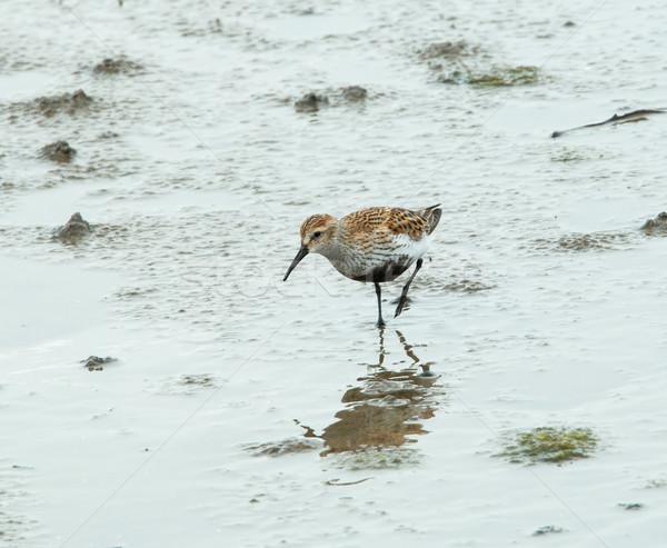 小 夏 繁殖 羽 ビーチ 鳥 ストックフォト © suerob