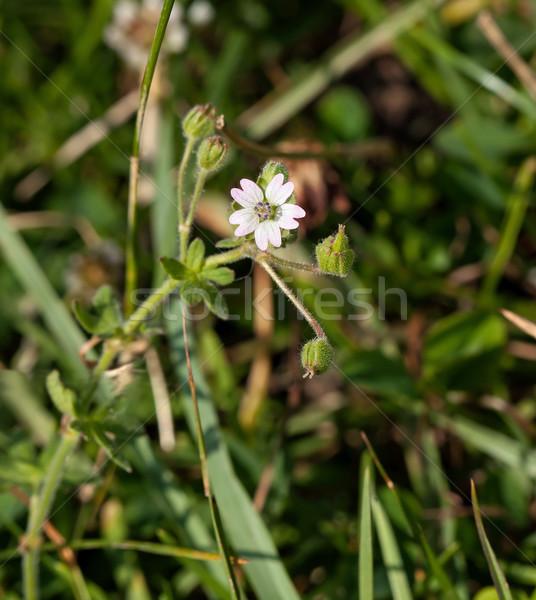 Vadvirág egy makró kréta évszak Stock fotó © suerob