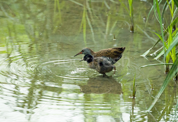 Water Rail with Youngster Stock photo © suerob