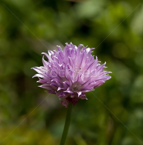 Bieslook bloemen bleek paars zonlicht bloem Stockfoto © suerob