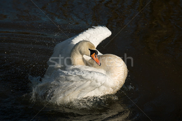 Mute Swan Bathing Stock photo © suerob