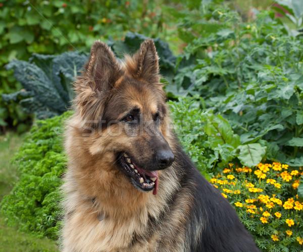 German Shepherd dog Stock photo © suerob