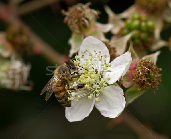 Abeille fleur BlackBerry oeil abeille miel Photo stock © suerob