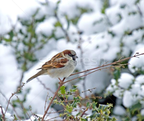 Ev serçe kar erkek kuş kış Stok fotoğraf © suerob