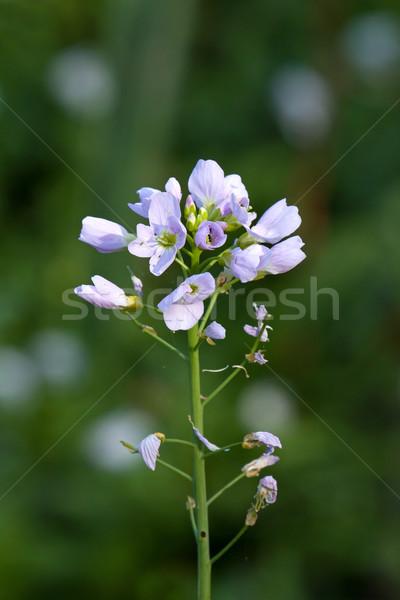 Koekoek bloem bleek roze bloemen Stockfoto © suerob