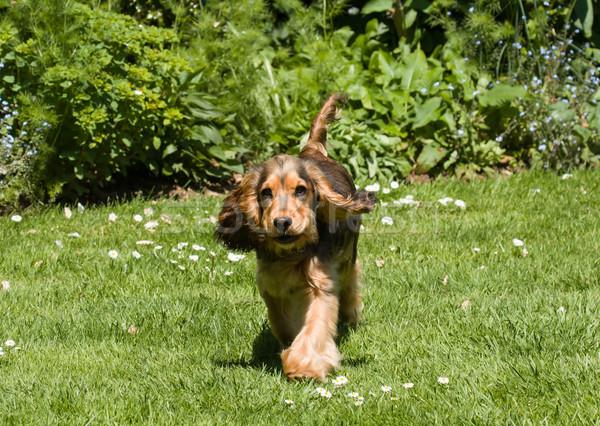 Anglais chiot oreilles montrent courir pelouse Photo stock © suerob