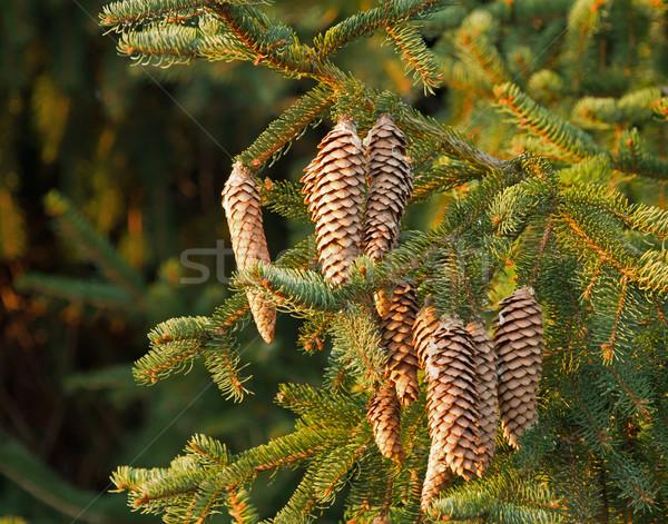 Fir Tree Cones Stock photo © suerob