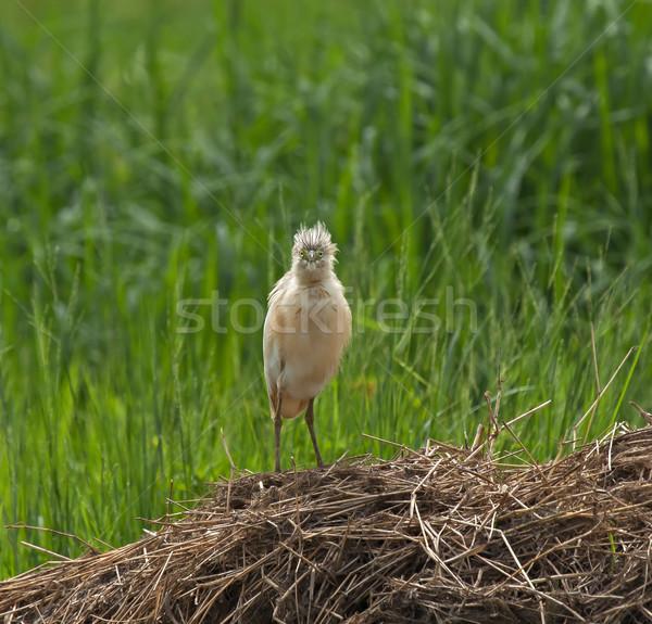 Squacco Heron full face Stock photo © suerob