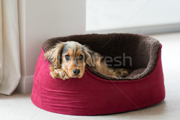 English Cocker Spaniel in Dog Bed Stock photo © suerob