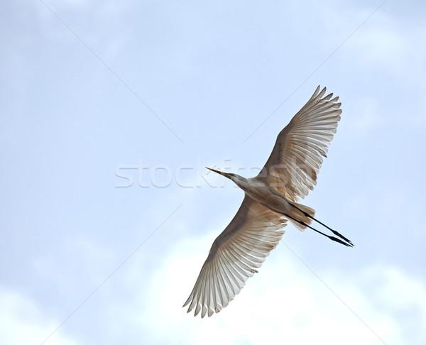Great White Egret in flight Stock photo © suerob