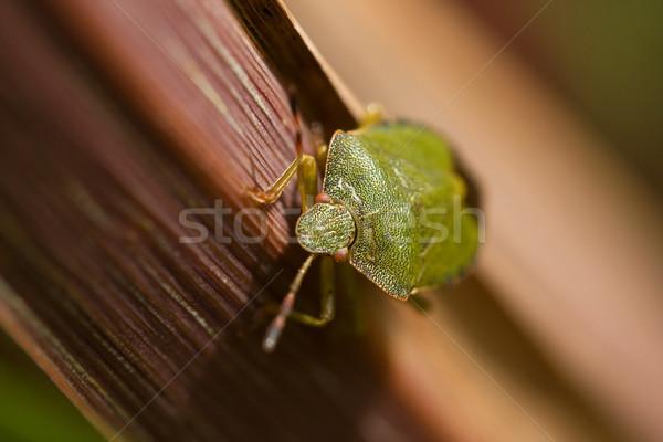 Yeşil kalkan böcek yaprak makro atış Stok fotoğraf © suerob