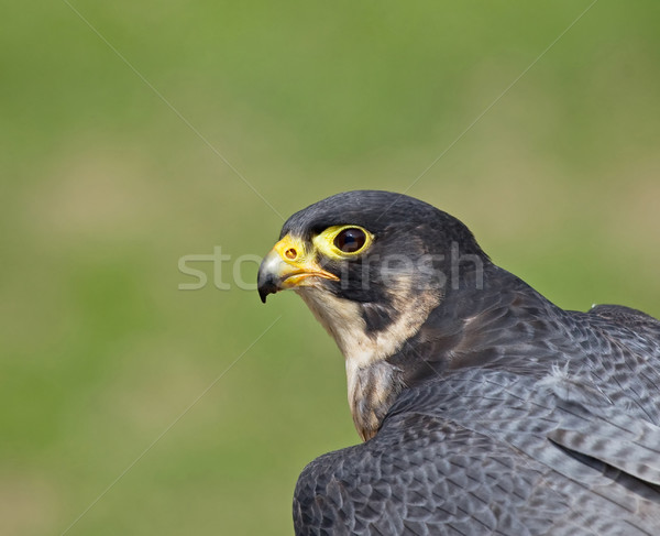 Falcon testa shot uccello preda cielo Foto d'archivio © suerob