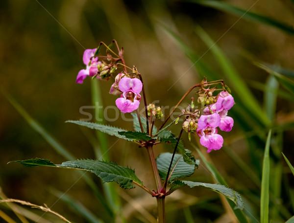 Pembe çiçekler bitki çiçek doğa Stok fotoğraf © suerob