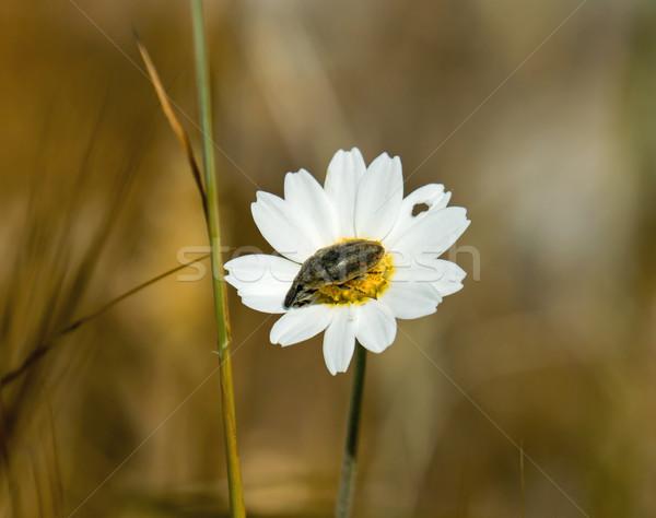 Rovar százszorszép virág fehér Stock fotó © suerob