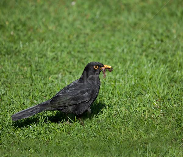 Blackbird Homme européenne alimentaire nature noir Photo stock © suerob