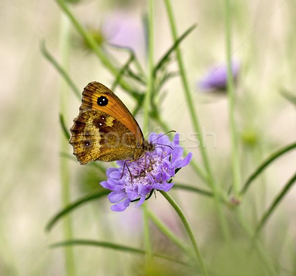 Gatekeeper Butterfly Stock photo © suerob