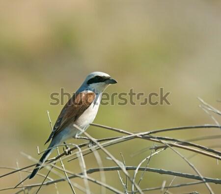 Red-backed Shrike Stock photo © suerob