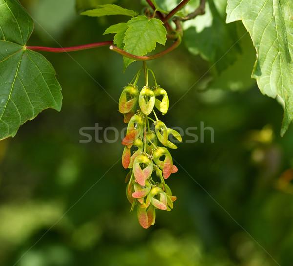 Sycamore Seeds Stock photo © suerob