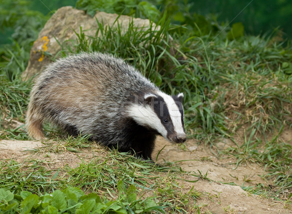 European Badger cub Stock photo © suerob