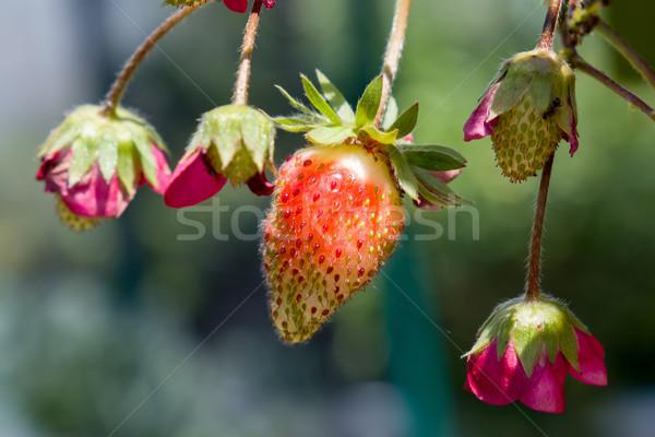 Fraises fruits été rouge usine rose Photo stock © suerob