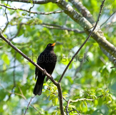 Blackbird chanter Homme européenne arbre été Photo stock © suerob