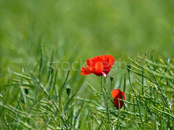 Kırmızı haşhaş alan simge kadın kayıp Stok fotoğraf © suerob