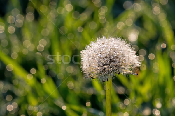 Dandelion Seedhead Covered in Dew, with copy space. Stock photo © suerob