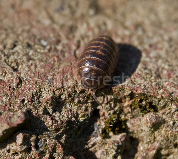 Common Pill Woodlouse Stock photo © suerob