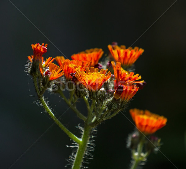 Fox and Cubs Wild Flowers Stock photo © suerob