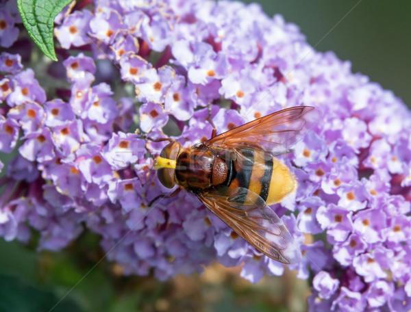 Hornet Mimic Hoverfly Stock photo © suerob