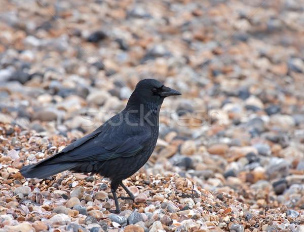 Carrion Crow on pebble beach Stock photo © suerob