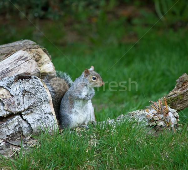 Grey Squirrel on Log Pile Stock photo © suerob