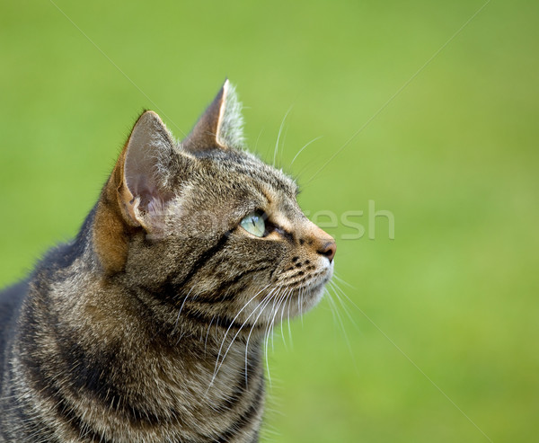 Tabby Cat head profile Stock photo © suerob