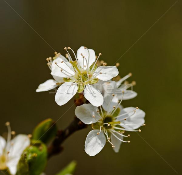 Virág közelkép lövés fehér makró vad Stock fotó © suerob
