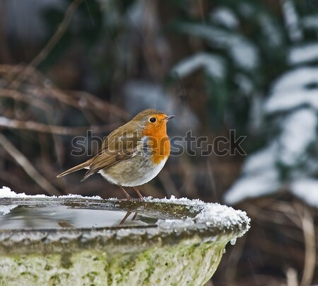 Robin in Woodland Stock photo © suerob