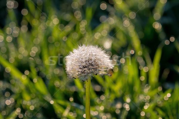 Karahindiba çiy saat kapalı doğa Stok fotoğraf © suerob