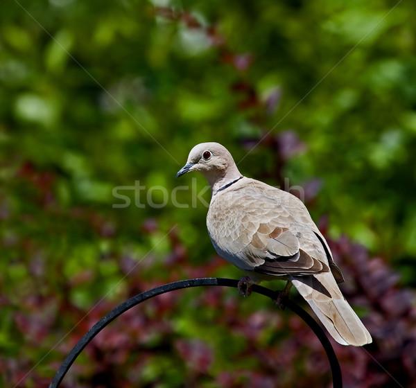 Collared Dove Stock photo © suerob