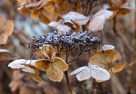 Frost on Hydrangea Stock photo © suerob