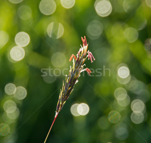 Grass Seedhead Stock photo © suerob