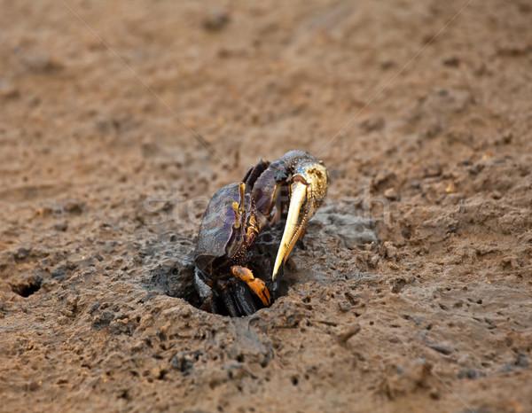 Yengeç erkek delik Gambiya doğa tatil Stok fotoğraf © suerob