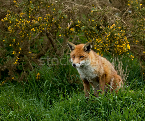 Red Fox Stock photo © suerob