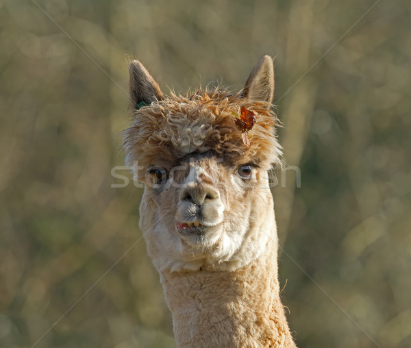 Alpaca with Leaf Stock photo © suerob